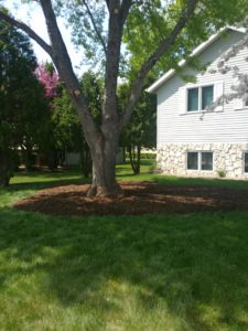 Mulch around a tree