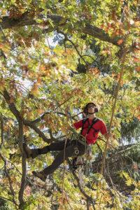 Phil Pruning Oak Trees